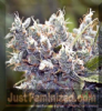 Female Bubblegummer Female 10 Marijuana Seeds